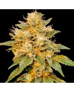 DNA Genetics - Snowland