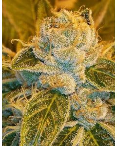 Ripper Seeds – Sour Ripper Marijuana Seeds