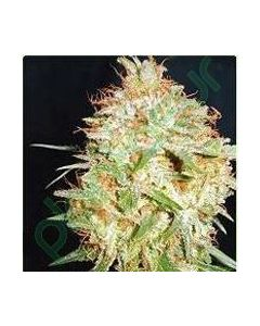 Professional Seeds – Critical Widow Cannabis Seeds