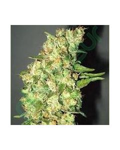 Professional Seeds – Doble Jack Cannabis Seeds
