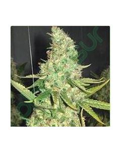 Professional Seeds – Pure Power Plant Cannabis Seeds