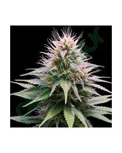 Professional Seeds – New York Diesel Automatic Cannabis Seeds