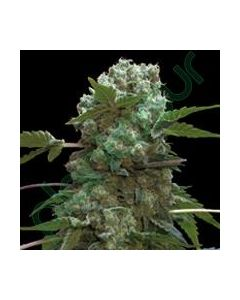 Professional Seeds – Doble AK-47 Cannabis Seeds