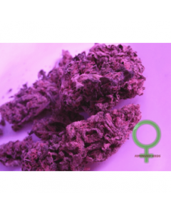 Feminized Seed Company - Super Cheese