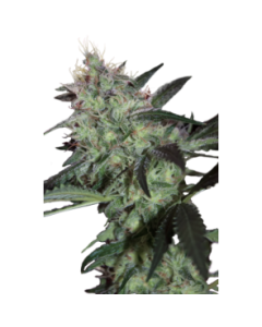 Seedmakers Seeds – Super Diesel Marijuana Seeds
