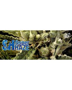 The Doctor – Super Haze Cannabis Seeds