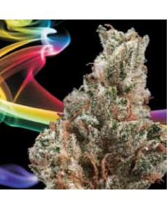LA Sativa – Super Orange Glue Marijuana Seeds