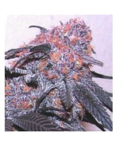 Simply Female Seeds – Super Pig Marijuana Seeds