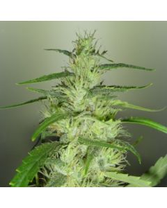 Royal Dutch Genetics Seeds – Super Silver Cheese Cannabis Seeds