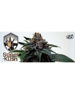 The Doctor – Super Kush Cannabis Seeds