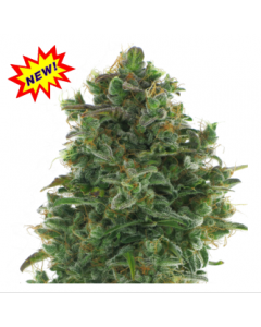 AC Genetics - Turbo Jack Marijuana Seeds