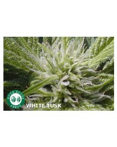 Goodhouse Seeds – White Tusk Cannabis Seeds
