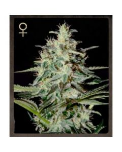 Strain Hunters Seeds – White Lemon Marijuana Seeds