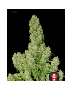 Serious Seeds – White Russian Marijuana Seeds