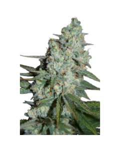 Seedmakers Seeds – Wonder Skunk Marijuana Seeds