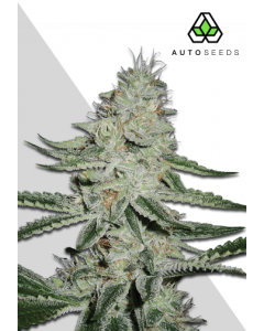 Auto Seeds – DreamBerry Cannabis Seeds