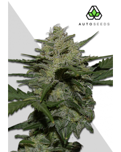 Auto Seeds – Girl Scout Cookies Auto Cannabis Seeds