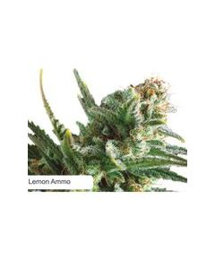 Dispensario Seeds – Amnesia Limonade Marijuana Seeds