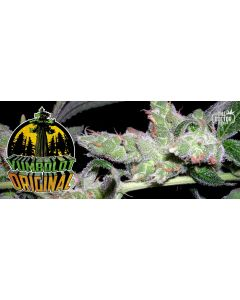 The Doctor – Yumboldt Original Cannabis Seeds