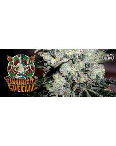 The Doctor – Yumboldt Special Cannabis Seeds