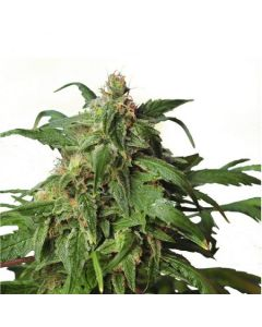 Hero Seeds – Zombie Rasta Domina Cannabis Seeds